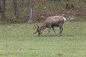 pic of jousting  - A lone male deer in a field - JPG
