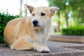 picture of forlorn  - Brown dog looking away and lying in park - JPG