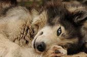 foto of sled  - Sly gray sled dog similar to a wolf - JPG