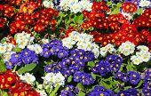 image of primrose  - Mixed coloured Spring Flowering Primroses nature background - JPG