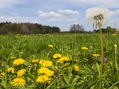 picture of may-flower  - meadow in May full flowering yellow dandelions as a background - JPG