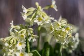 image of cowslip  - Cowslip Primula veris at a shallow depth of field - JPG