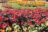 image of poinsettias  - colourful poinsettia flowers in garden - JPG