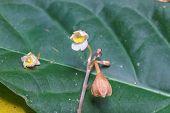 image of species  - Didymoplexis sirichaii orchids - JPG