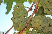 Ripe Green Wine Grapes In Autumn