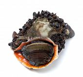 pic of whelk  - Veined rapa whelk overgrown with small mussels. Isolated on white background