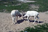 pic of saharan  - Two addax  - JPG