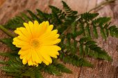 picture of gerbera daisy  - Yellow gerbera daisy resting on wooden planks - JPG