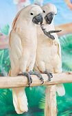 picture of cockatoos  - Two Cockatoos Catching On Perch In Farm - JPG
