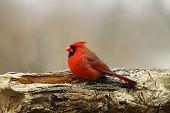 Rundlich Kardinal