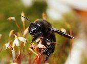 Постер, плакат: European Carpenter Bee Climb On Moss