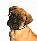 image of bull-mastiff  - puppy purebreed bull mastiff detoured - JPG