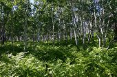 Verdant Aspen Grove In A Utah Spring