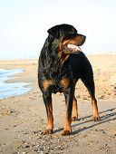 Rottweiler On The Beach
