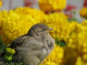 Sparrow sits on yellow flowers