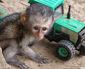 Baby Vervet With Toy Tractor poster