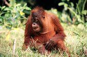 Filhote de orangotango.