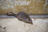 Brown Rat In Mortar Tubs poster