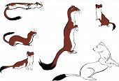 picture of ermine  - Set of illustrations with ermines in various poses - JPG