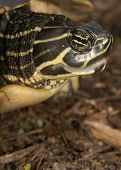 foto of cooter  - (mother turtle at local park)thank you very for looking - JPG