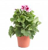 stock photo of potted plants  - A beautiful british pelargonium in a pot isolated on white - JPG