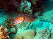 Devilfish, Vietnam, Nha Trang