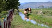 foto of klamath  - Three horses along a small creek grazing in southern Oregon near Klamath Falls - JPG