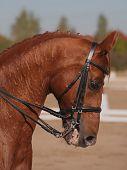 roten thoroughbred Pferde