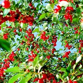 Red Cherry Fruit On Tree