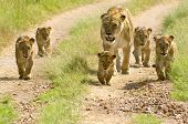 picture of vicious  - lioness walking her five cubs through Kenya - JPG