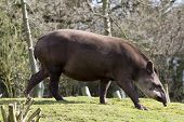 picture of tapir  - Tapir from south Africa found in Brazil - JPG
