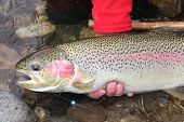foto of steelhead  - Idaho steelhead trout caught and released in the Salmon River - JPG