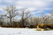 Herd Of Cows Feed On Hay During Winter