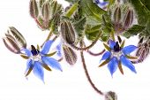 pic of borage  - Close up view of the Borage Flower  - JPG