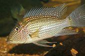 earth eater fish
