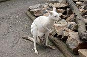 The Albino Kangaroo Is Eating Grass. She Has A Brown Joey poster