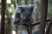 The Joey Koala Is High In A Tree Looking Down poster