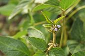 Young Soybean Plants With Tiny Flowers On Cultivated Soybean Field. poster