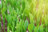 Beautiful Macro Of White Small Little Spring Flower Buds In Light Green Grass. Sun Light From Above. poster