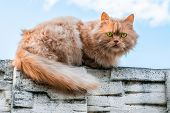 Ginger Cat With Colorful Eyes Looking Serious Into The Camera poster