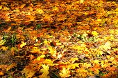 Autumn Leaves On The Ground. Maple, Yellow Foliage. Outdoor. Golden Fallen Landscape. poster