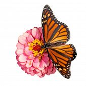 Dorsal view of a female Monarch butterfly, Danaus plexippus, feeding on a pink flower; on white background
