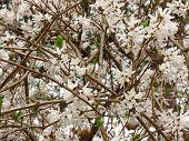 White Forsythia Bush