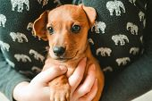 Cute Dachshund Puppy On Hands Looking In Camera poster