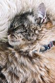 Cute Tabby Cat Sleeps On White Fluffy Blanket. Black Cat Collar Around Neck. Persian Cats. Taking A  poster