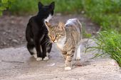 A Gray Cat Is Walking Along A Concrete Slab And A Second Black Cat Is Sitting Behind Its Head. Near  poster