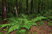 Mysterious Dark Pine Forest And Beautiful Fern Leaves Among Trunks. Fairy Tale Of Coniferous Forest  poster