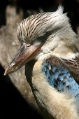 pic of blue winged kookaburra  - a kookaburra in australia - JPG