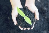 Planting A Tree Seedlings Young Plant Are Growing On Soil Holding By Hand Woman Help The Environment poster
