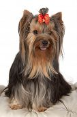 picture of banquette  - Yorkshire terrier on banquette on light background - JPG